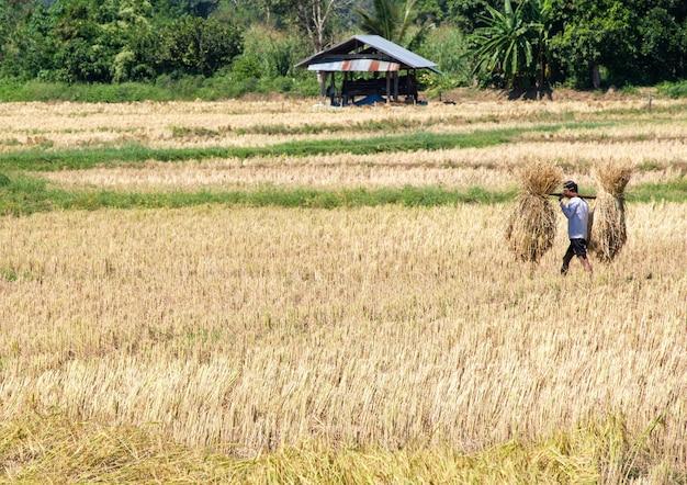 W czasie żniw miejscowy rolnik niesie wiązkę ryżu z pola ryżowego