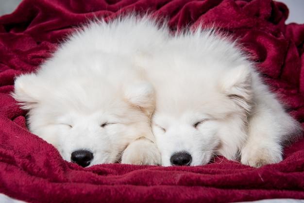W czerwonym łóżku śpią dwa szczenięta samojeda