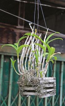 W doniczce wisiała roślina orchidei