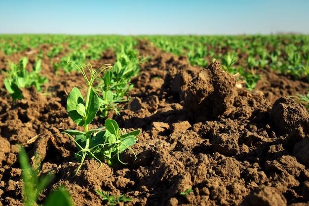 W glebie pędy zielonego groszku. zielone pędy w ogrodzie. groch warzywny w tej dziedzinie. kwitnące rośliny strączkowe. uprawa