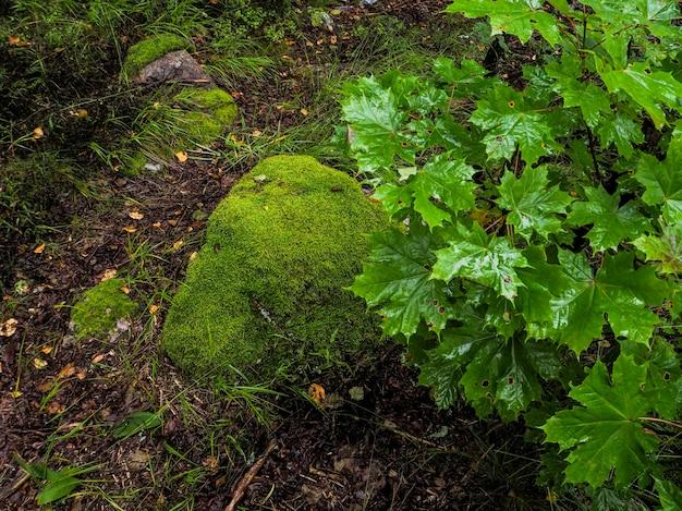 W głębokim lesie. mistyczny las deszczowy. krajobraz lasu z głazami porośniętymi mchem.