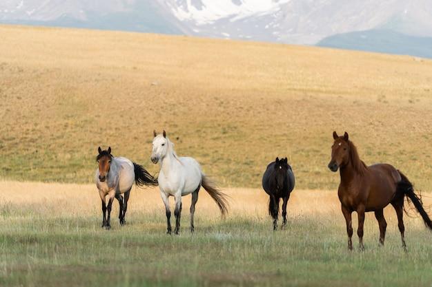 W górach pasie się stado dzikich koni