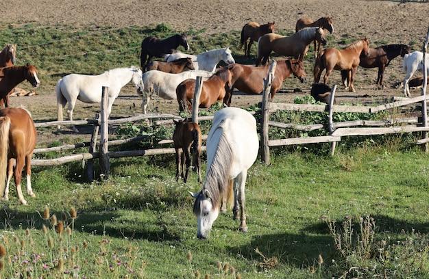 W gospodarstwie pasie się wiele koni