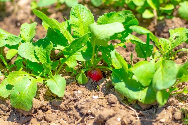 W grządce ogrodowej rośnie młoda czerwona rzodkiew. uprawa smacznych zdrowych warzyw korzeniowych