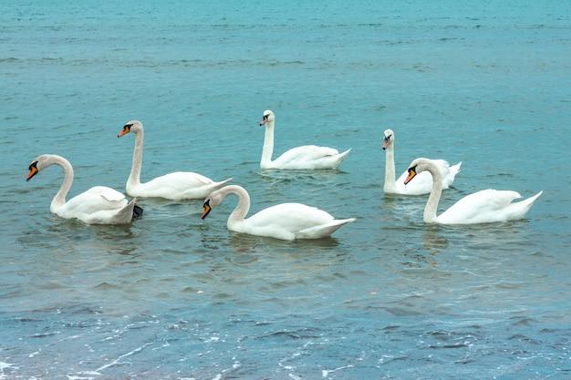 W jeziorze pływają białe, pełne wdzięku łabędzie