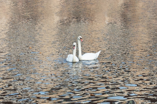 W jeziorze w jesiennym parku pływają białe łabędzie