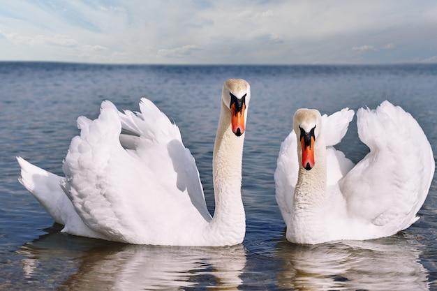 W kadr patrzą dwa piękne łabędzie na stawie