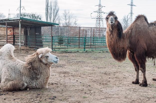 W kadr zaglądają dwa wielbłądy na padoku na farmie. zwierzę jest na farmie w zoo. camelus bactrianus, duże zwierzę kopytne żyjące na stepach azji środkowej.