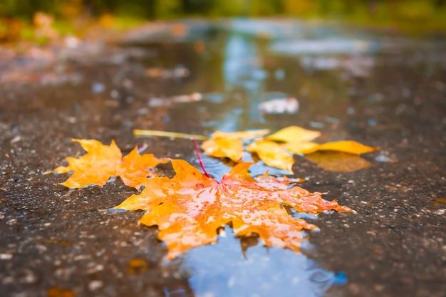 W kałuży są jesienne liście. żółty klon w parku.