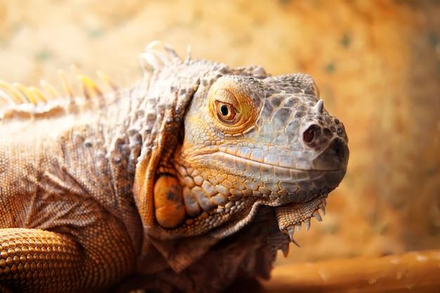 W Klatce Spoczywa Duża Iguana Z żółto-zielonymi łuskami. Premium Zdjęcia