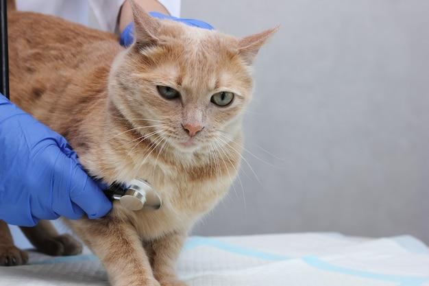 W klinice weterynaryjnej. weterynarz słuchający czerwonego kota stetoskopem. u weterynarza.