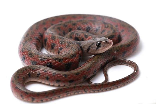 W kratkę keelback azjatycki wąż wodny pojedynczo na białym tle