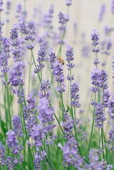 W lecie delikatne kwiaty bzu lawendy w ogrodzie. pszczoła siedzi na kwiatku lawendy