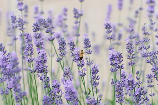 W lecie delikatne kwiaty bzu lawendy w ogrodzie
