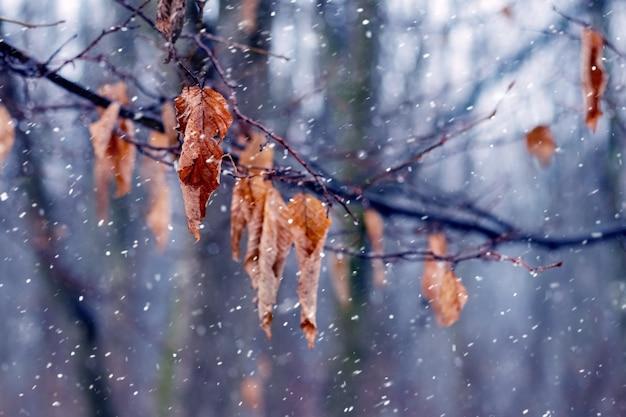 W lesie jest mokry śnieg. gałąź drzewa z uschniętymi liśćmi w jesiennym lesie podczas opadów śniegu