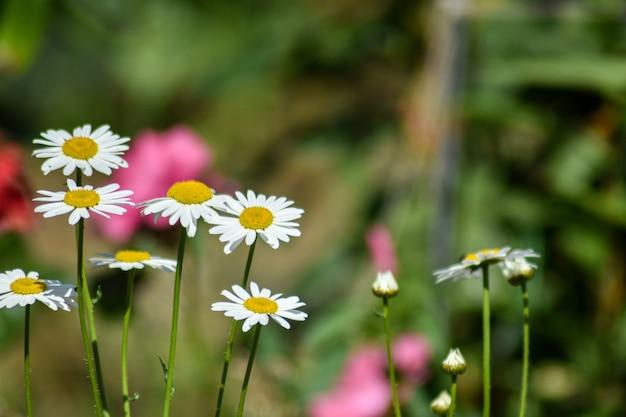 W letnim ogrodzie kwitną stokrotki