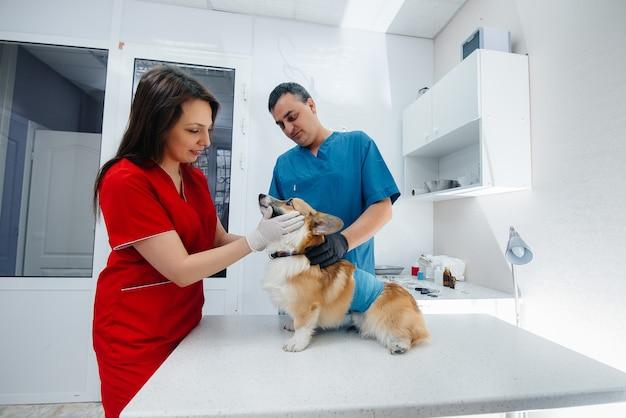 W nowoczesnej klinice weterynaryjnej bada się rasowego psa corgi. klinika weterynaryjna.