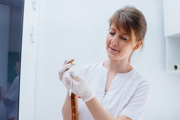 W nowoczesnej klinice weterynaryjnej bada się żółtego węża. klinika weterynaryjna.