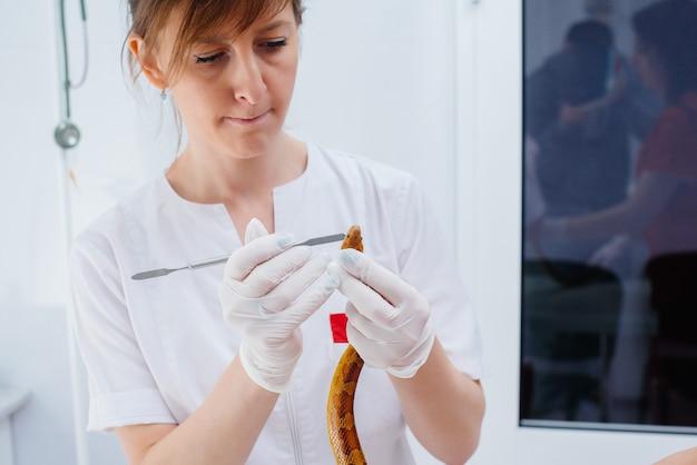 W nowoczesnej klinice weterynaryjnej badany jest żółty wąż. klinika weterynaryjna.