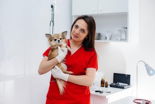 W nowoczesnej klinice weterynaryjnej rasowy chihuahua jest badany i leczony na stole. klinika weterynaryjna.