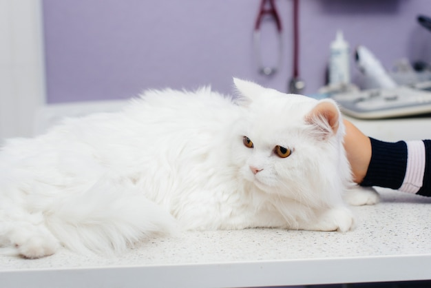W nowoczesnej klinice weterynaryjnej rasowy kot jest badany i leczony na stole. klinika weterynaryjna.