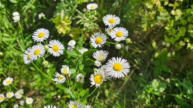 W ogrodach i lasach kwitną wiosną. piwonie drzewne, polne kwiaty. zielone liście. na plakaty. skopiuj miejsce