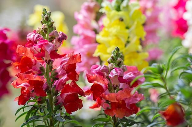 W ogrodzie kwitną piękne kwiaty antirrhinum majus lub snapdragon