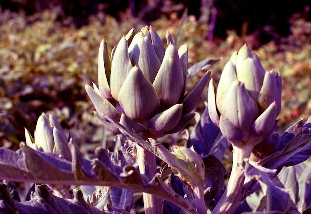 W ogrodzie na krzaku rosną purpurowe karczochy. rolnictwo organiczne.