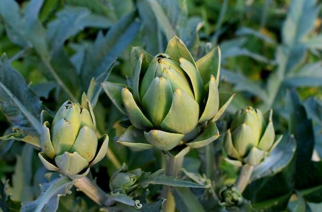 W ogrodzie na krzaku rosną zielone karczochy. rolnictwo organiczne.