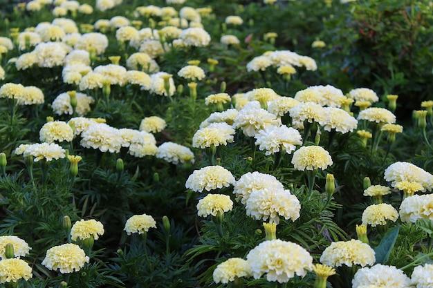 W ogrodzie rosną białe kwiaty nagietka.