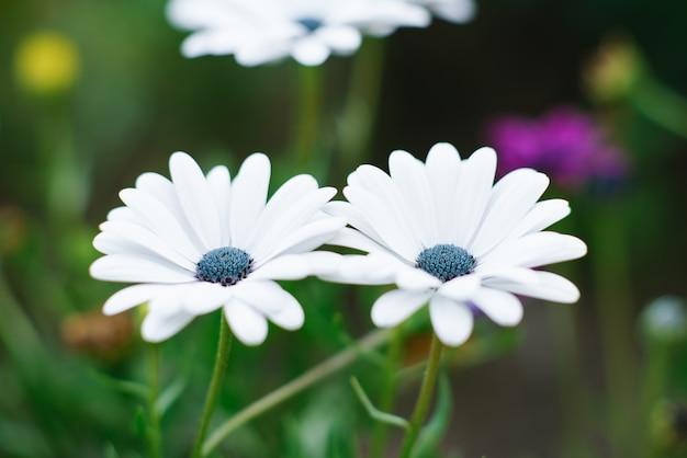 W ogrodzie rosną białe kwiaty osteospermum.