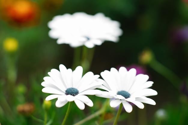 W ogrodzie rosną białe kwiaty osteospermum