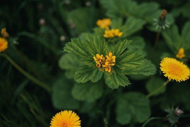 W ogrodzie rosną piękne żółte kwiaty