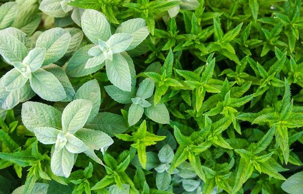 W ogrodzie rosną różne rodzaje i odmiany mięty. naturalna tapeta. aromaterapia. natura.