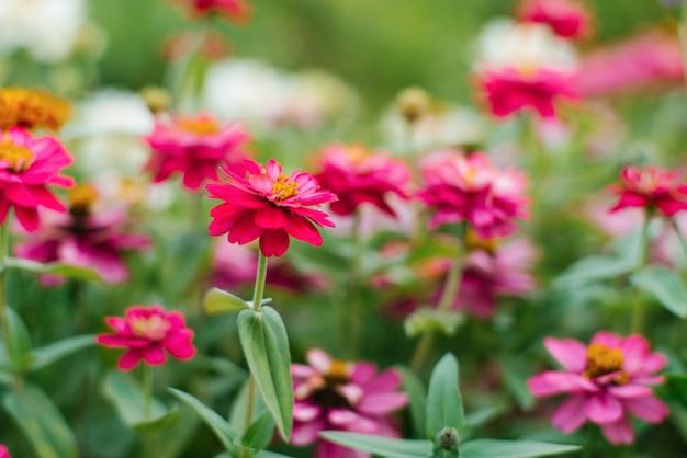 W ogrodzie rosną różowe kwiaty cynii. kwiaty latem