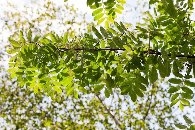 W okresie wiosennym pojawiły się świeże, nowe, zielone liście jarzębiny. w tle błękitne niebo. liście są oświetlone światłem słonecznym. zdjęcie zbliżenie