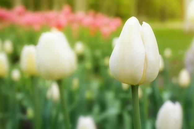 W parku rosną białe tulipany.