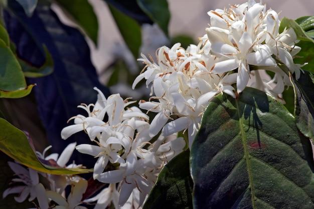 W pełni kwitnące drzewo kawowe