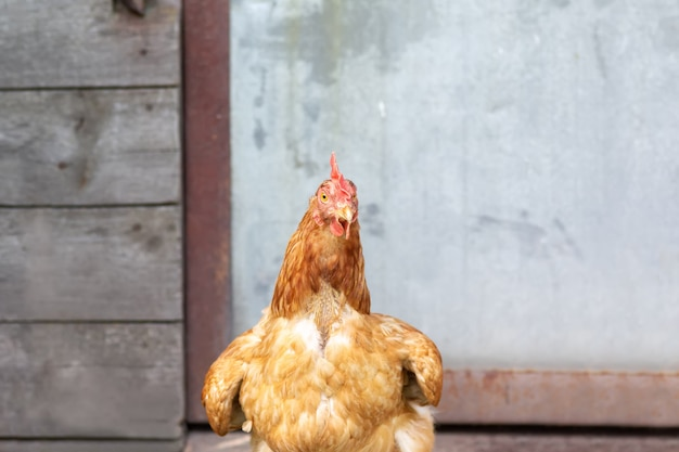 W pobliżu kurnika stoi młoda brązowa kura