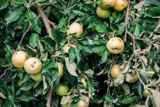 W przydomowym ogródku rośnie jabłoń. gałęzie pokryte są owocami jabłoni. jesienne zbiory. naturalne tło. zielone liście i jabłka.