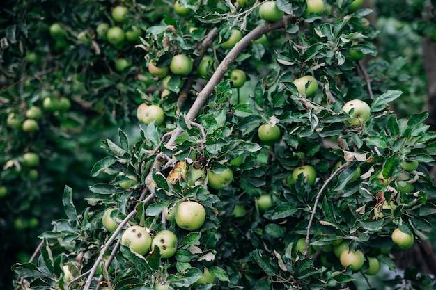 W przydomowym ogródku rośnie jabłoń. gałęzie pokryte są owocami jabłoni.