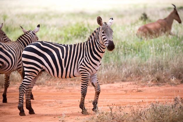 W rozległym krajobrazie sawanny stoją dwie zebry