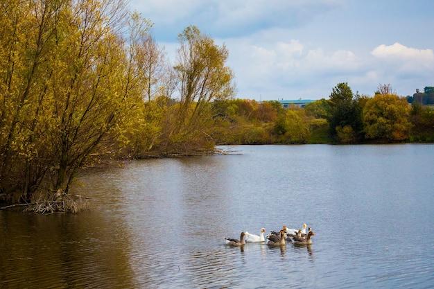 W rzece pływają gęsi. jesienny krajobraz z rzeką, drzewami na brzegu i gęsiami na wodzie.