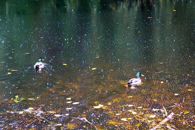 W rzece podczas deszczu jesienią pływają kaczki