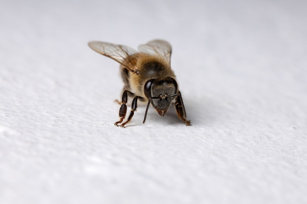 W ścianie zachodnia pszczoła miodna z gatunku apis mellifera