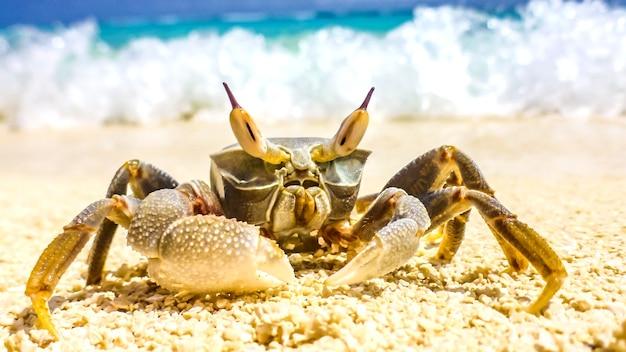W słoneczny dzień na malediwach na białej, piaszczystej plaży wyczołgał się duży krab.