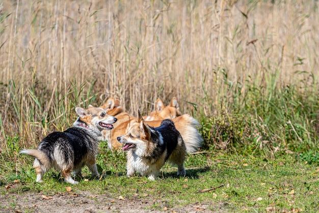 W słoneczny dzień na plaży nad jeziorem bawi się kilka psów rasy welsh corgi