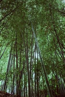 W środku bambusowego gaju spogląda w górę. wysokiej jakości zdjęcie