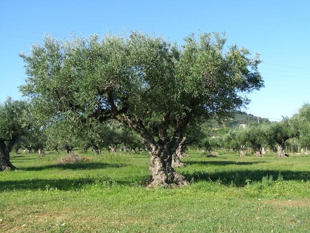W starym ogrodzie drzew oliwnych. grecja