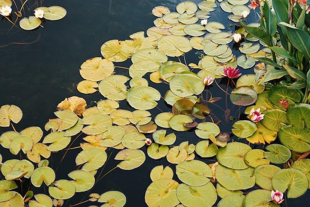 W stawie lilie wodne są czerwono-białe, a wokół nich pływają duże zielone liście.